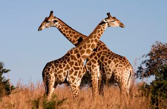 Giraffe Euthanization Causes Unwarranted Uproar