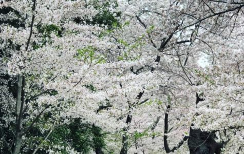Cherry Blossom Peak amazes tourists and D.C. residents alike