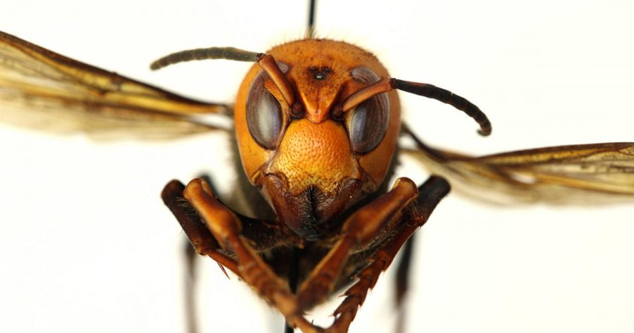 The Asian giant hornet spans up to two inches with a venomous quarter-inch stinger.