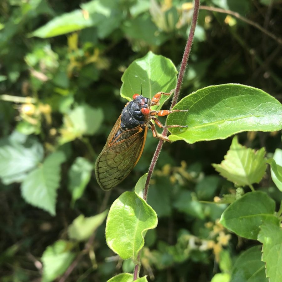 Cicadas re-emerge after 17 years